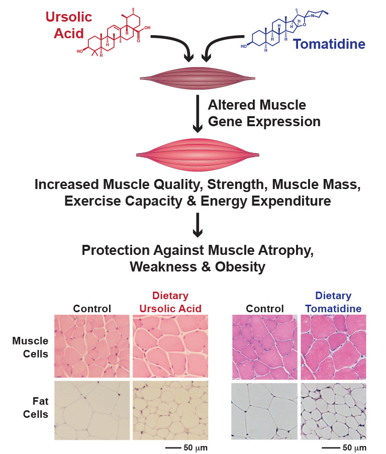 Ursolic Acid and Tomatidine Diagram with muscle